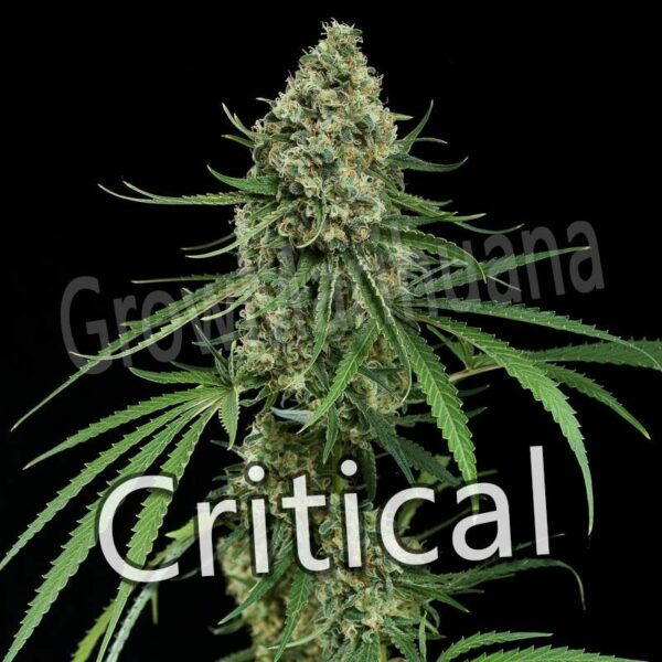 Semillas de Critical Mass baratas