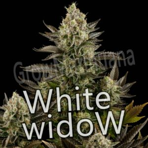 white widow feminizada a 1 euro